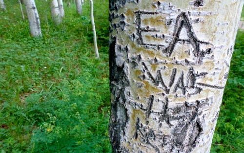 an etching in an aspen tree